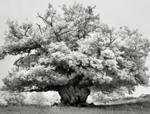 Beth Moon: Chestnut in Cowdray Park