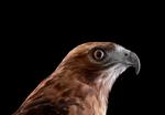 Brad Wilson: Red Tailed Hawk #1, Espanola, NM, 2011