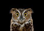 Brad Wilson: Great Horned Owl #1, Espanola, NM, 2011