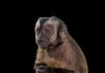 Brad Wilson: Capuchin Monkey #5, Monterey, CA, 2014