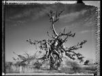 Elaine Ling: Baobab, Tree of Generations #4