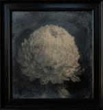Light and Metal: Kate Breakey, Chrysanthemum