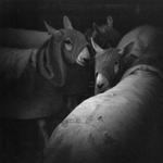 Meg Birnbaum: Sheep in Hoods, 2006