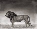 Nick Brandt: Portrait of Lion Standing in Wind, Maasai Mara, 2006