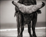 Nick Brandt: Buffalo with Lowered Head, Amboseli, 2007