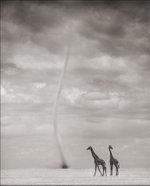 Nick Brandt: Giraffes & Dust Devil, Amboseli 2007