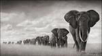 Nick Brandt: Elephants Moving Through Grass, Amboseli, 2008