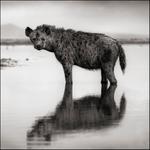 Nick Brandt: Hyena in Water, Amboseli 2010