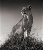 Nick Brandt: Lioness on Mound, Serengeti, 2012