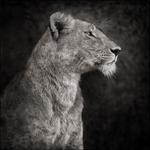 Nick Brandt: Portrait of Lioness Against Rock, Serengeti, 2007