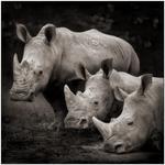 Nick Brandt: Three Rhinos, Nakuru, 2007