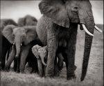 Nick Brandt: Elephant Mother & Two Babies, Serengeti, 2002