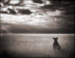 Nick Brandt: Lioness Looking Over Plains, Maasai Mara, 2004