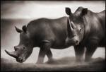 Nick Brandt: Two Rhinos, Lewa Downs, 2003